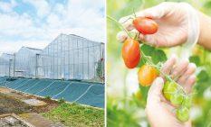 「小田急・神奈中ファーム城山農場」(左)と第一弾の高糖度ミニトマト「かなか」
