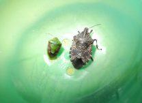 キマダラカメムシの成虫(右)と幼虫